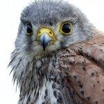 Tårnfalk, Falco tinnunculus (juvenil)