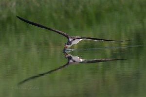 Amerikansk-saksnæb-Black-Skimmer