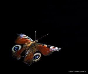 Dagpåfugleøje, Aglais io
