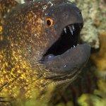 Kategori: Andre dyr. En muræne viser tænder ad fotografen. Vandybde ca 15m, Filippinerne.
