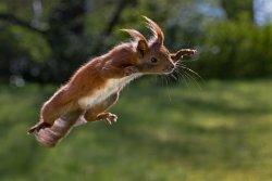 Kategori: Pattedyr. Et egerne bliver i et split sekund fastfrosset midt i sit spring.