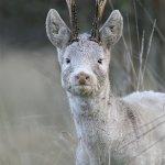 White roe deer Capreolus capreolus